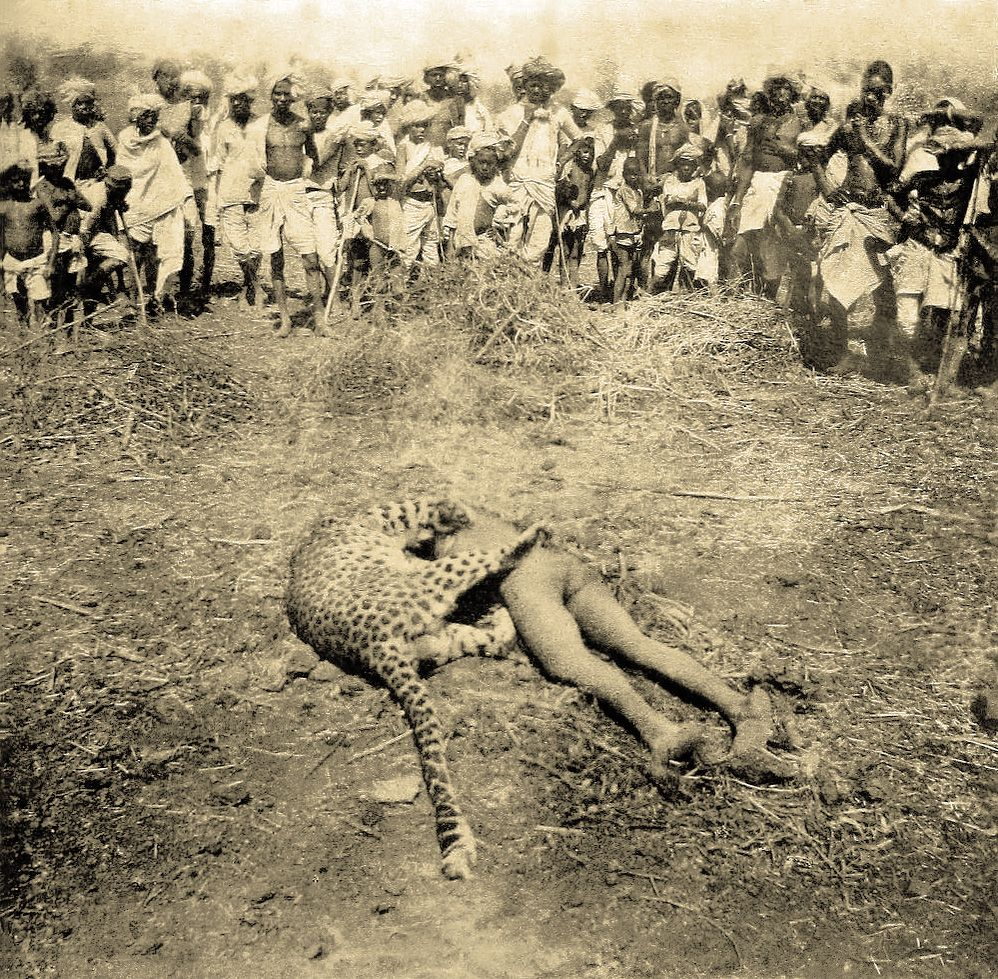 The Gunsore man-eater after it was shot by British officer W. A. Conduitt on 21 April 1901. Credited with at least 20 human deaths, the leopard was killed on top of its last victim, a child from Somnapur village in the Seoni district, India.