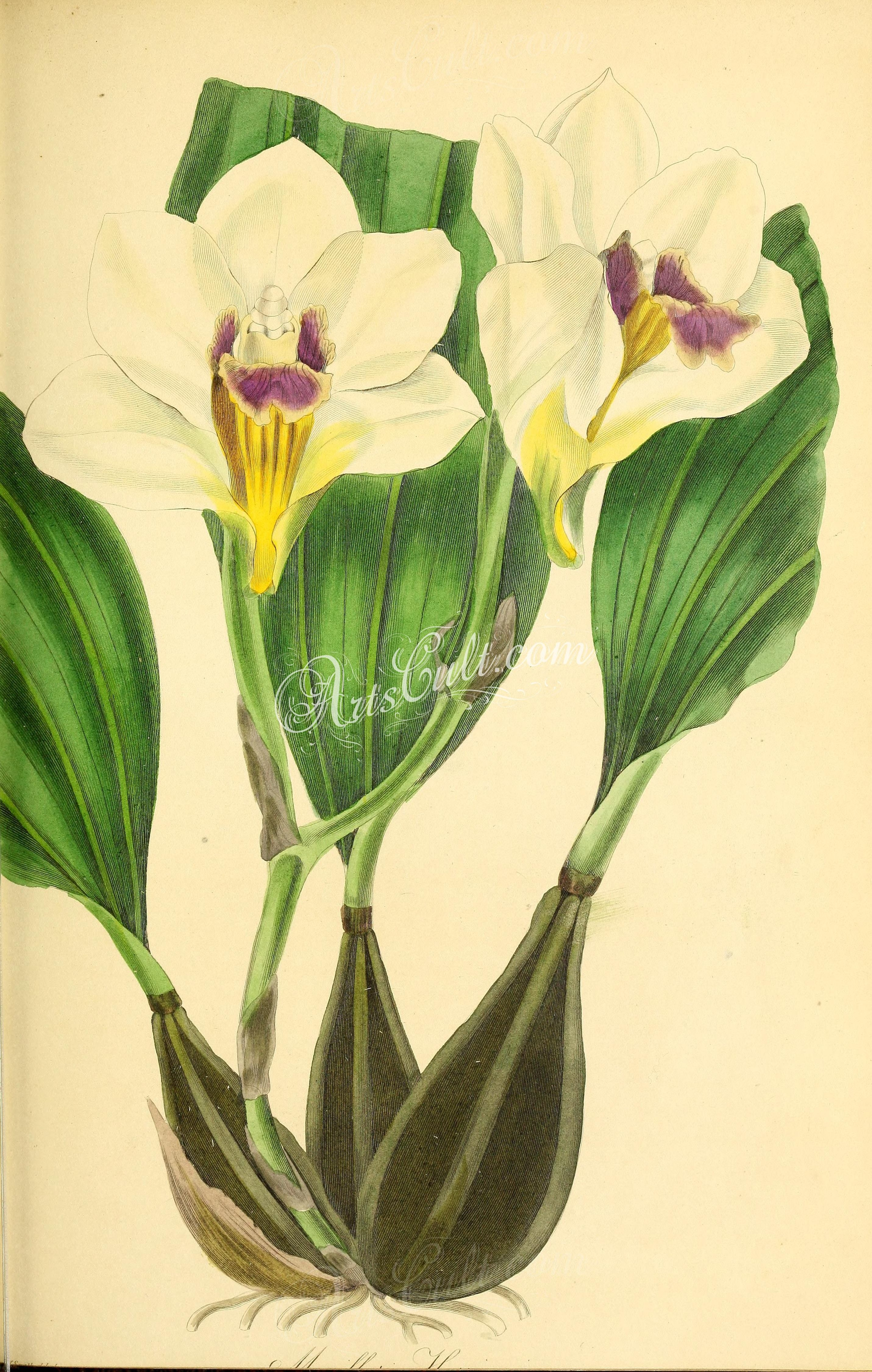 Mrs Harrison's Large-flowering Maxillaria, maxillaria harrisoniae grandiflora      ...