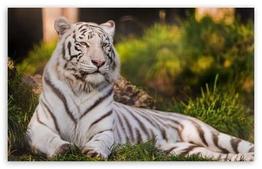 White Tigress Pet Tiger White Tiger Pictures White Tiger