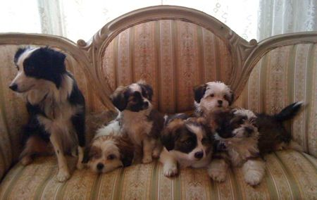 Litter Of 5 Auss Tzu Puppies With Their Proud Momma A Miniature Australian Shepherd On Th Miniature Australian Shepherd Australian Shepherd Dogs Purebred Dogs