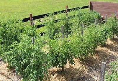 plant tomatoes #tomatenpflanzen