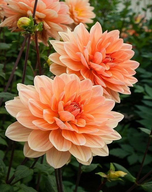 Dahlia Apricot Desire is a lovely waterlily type dahlia ...