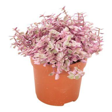 Smuzyna 15 Cm Kwiaty Doniczkowe W Atrakcyjnej Cenie W Sklepach Leroy Merlin Plants Planter Pots Planters
