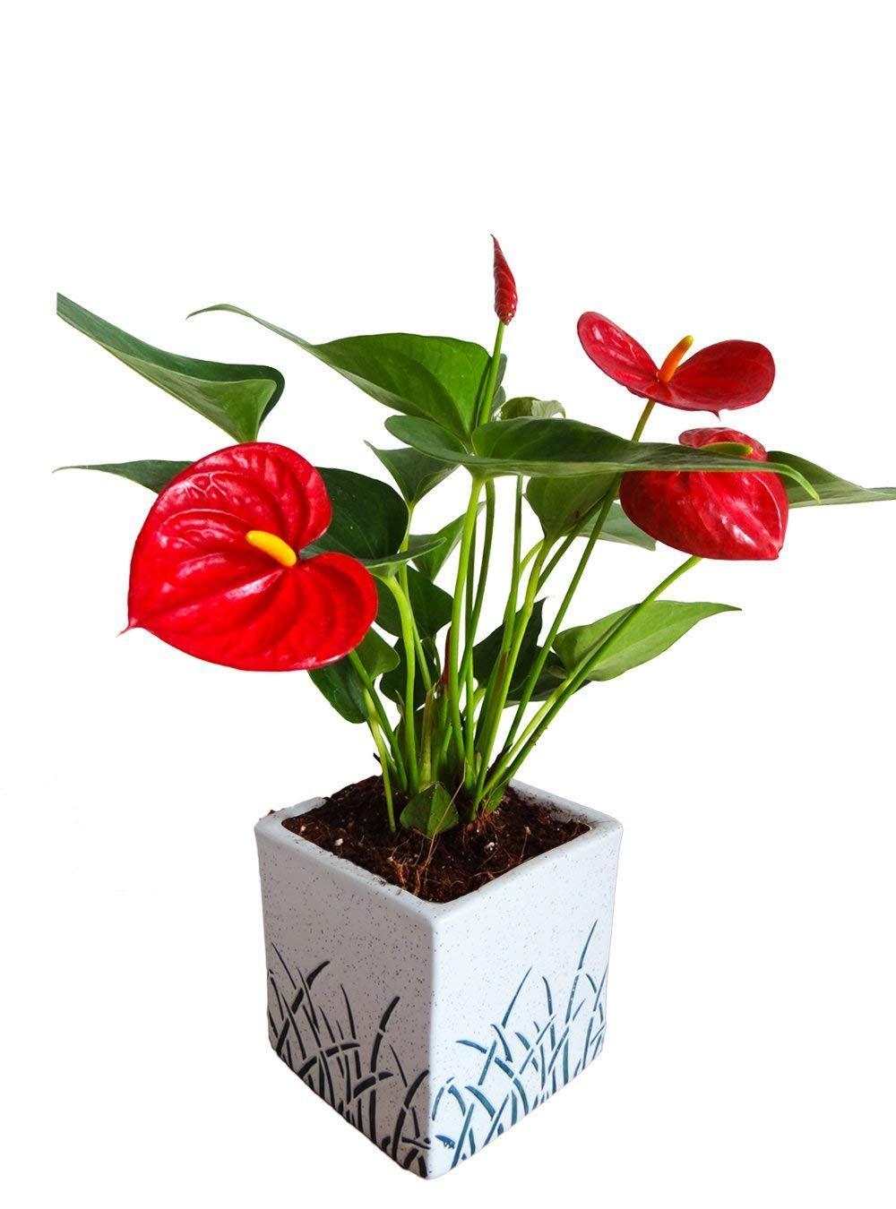 Rolling Nature Air Purifying Red Anthurium Plant In White Cube Aroez Ceramic Pot In 2020 Anthurium Plant Anthurium Plants