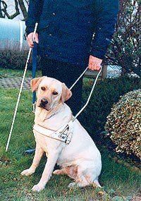 Chien Guide D Aveugle Le Golden Ou Le Labrador Retriever Et Le