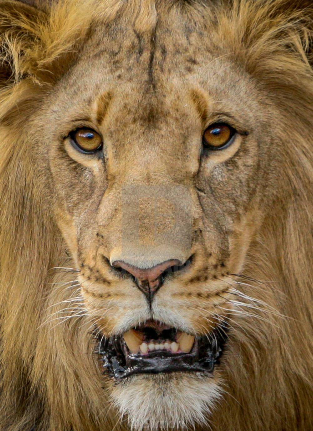 Face Of A Lion Google Search Male Lion Wildlife Photography Animals