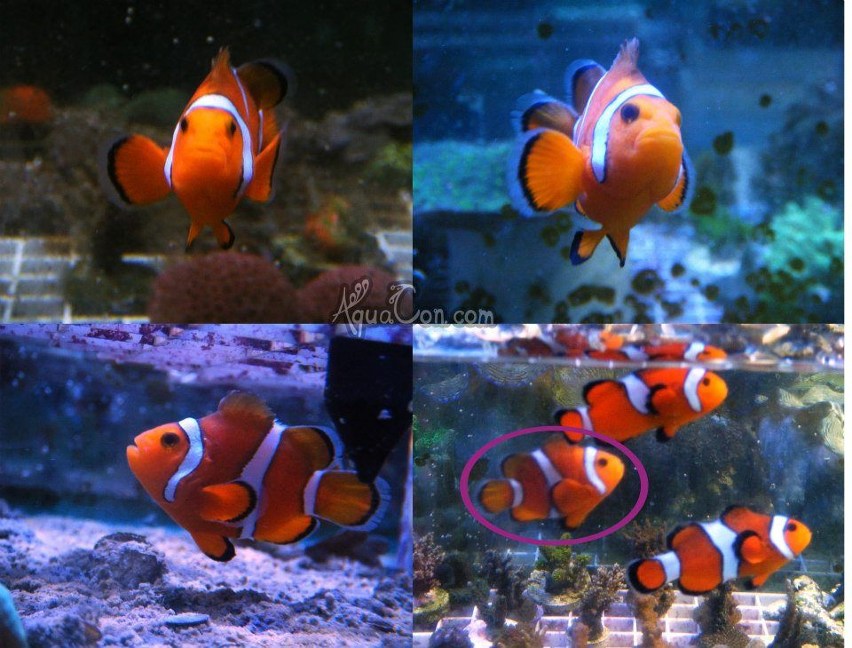 Buy Nemo Fish