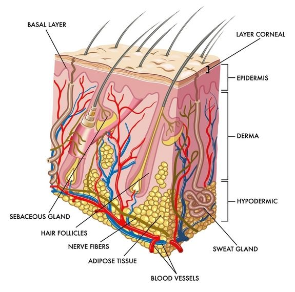 skin: facts, diseases & conditions | human integumentary system, Human body