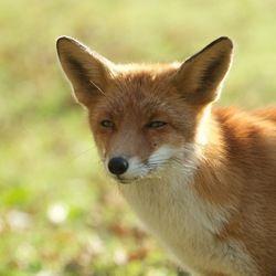 Red Fox by Janine Oosterhuis | Zoom.nl