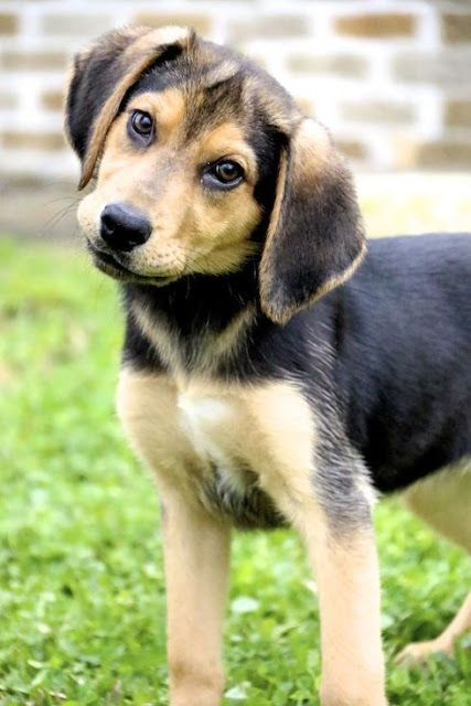 Beagle Shepherd Mix Beagle Shepherd Mix Dog Breeds Medium