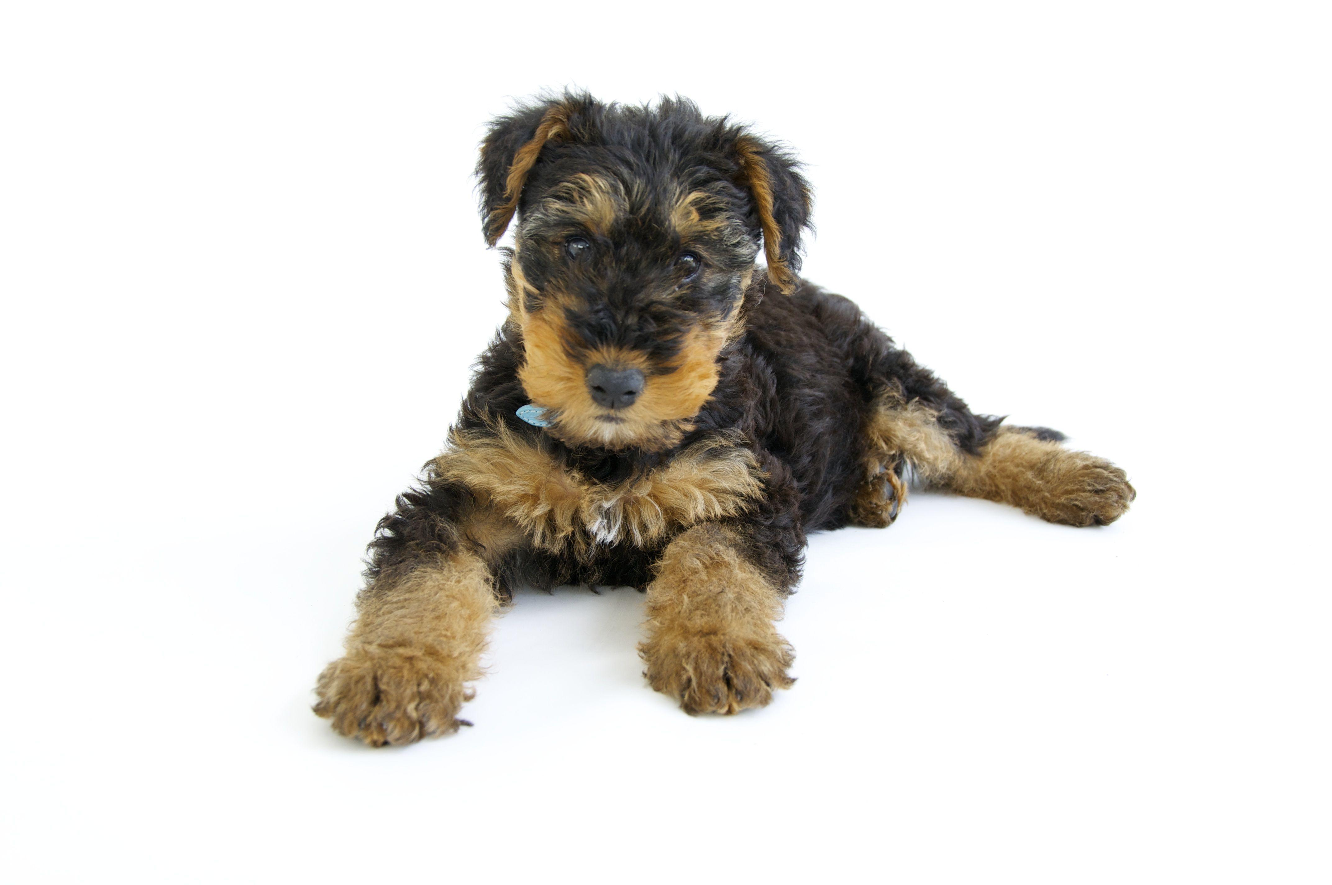 Teddy, airdale puppy