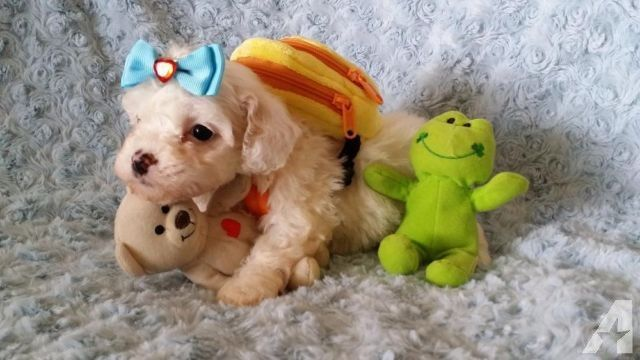 SUPER Tiny Teacup Maltipoos !! ♥ (With images) Maltipoo