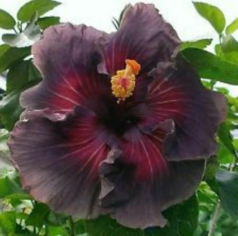 Delta Dawn Hibiscus Plant Rooted Tropical Hibiscus Plant Ships In Pot In 2020 Hibiscus Plant Plant Roots Food Garden