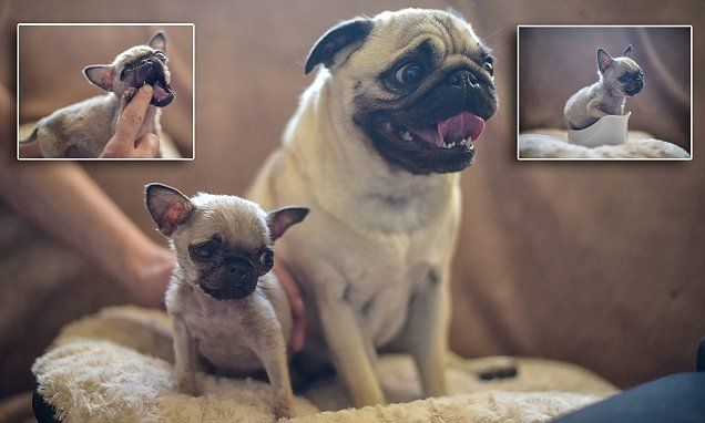 Is This Britain S Smallest Dog Pug Is Only Four Inches Tall