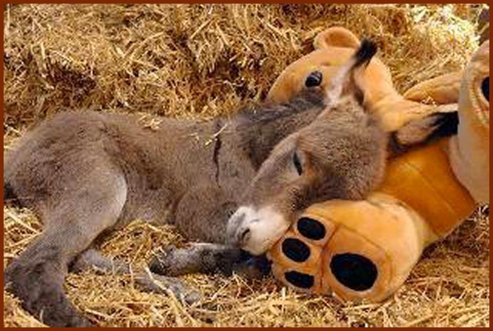 Donkey Sleeping Wallpapers Hd