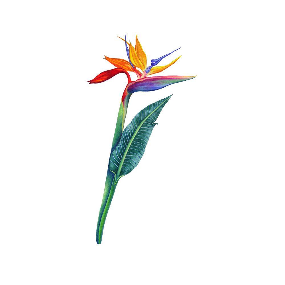 Birds Of Paradise Flower Image Drawing Graphic Color Art Illustration Paint Color Schem Birds Of Paradise Flower Bird Of Paradise Tattoo Flower Drawing