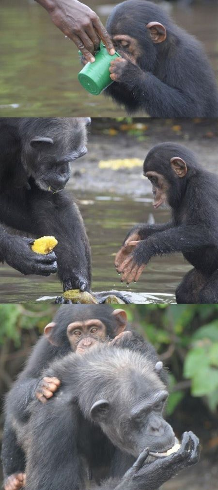 Baby Chimp Left To Die Can't Believe He's Drinking Fresh ...