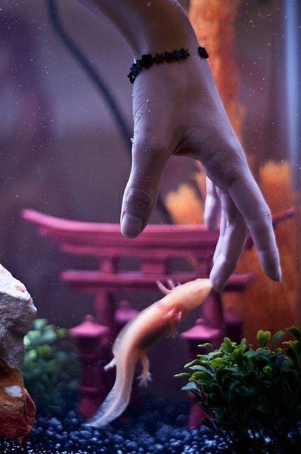 Axolotes Axolotl Cute Cute Reptiles Axolotl