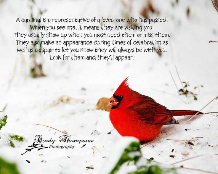 Symbolic Meaning Of Red Birds Yahoo Search Results Cardinals