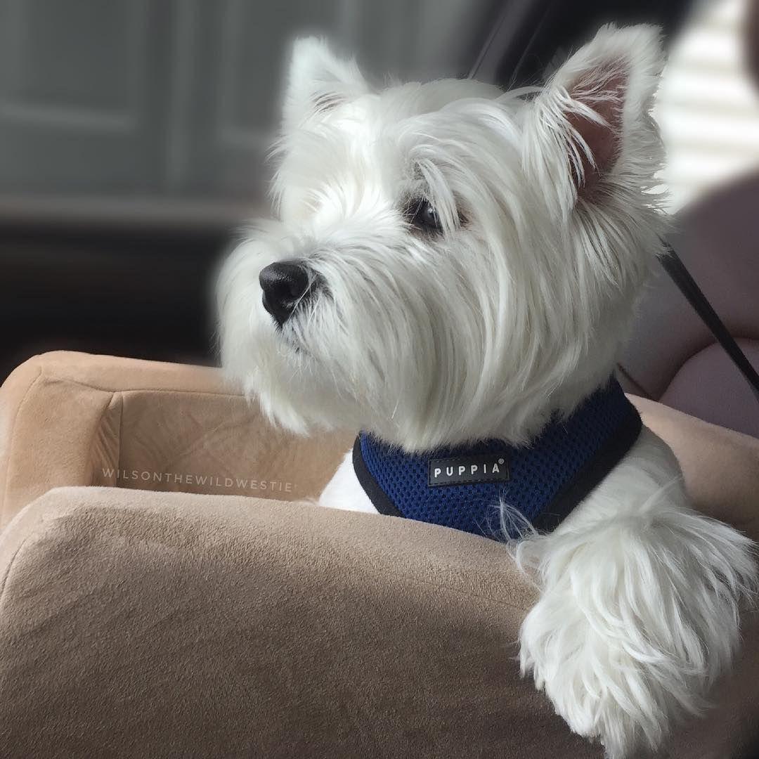 Hi My Name Is Wilson Wilsonthewildwestie Instagram Photos And Videos Westie Dogs Westie Puppies Baby Dogs