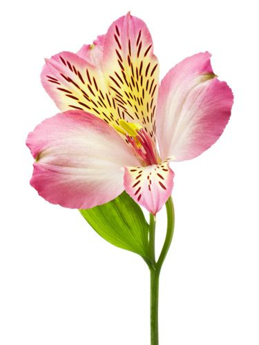 The meaning behind 10 popular valentine 39 s day flowers flower meanings peruvian lilies and flowers - Flowers that mean friendship ...