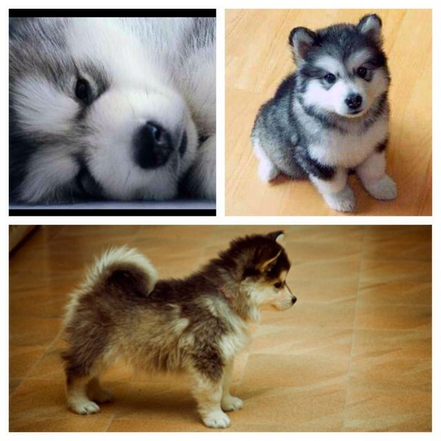 Pomeranian Siberian Husky Omg I Am In Love And Must Have This
