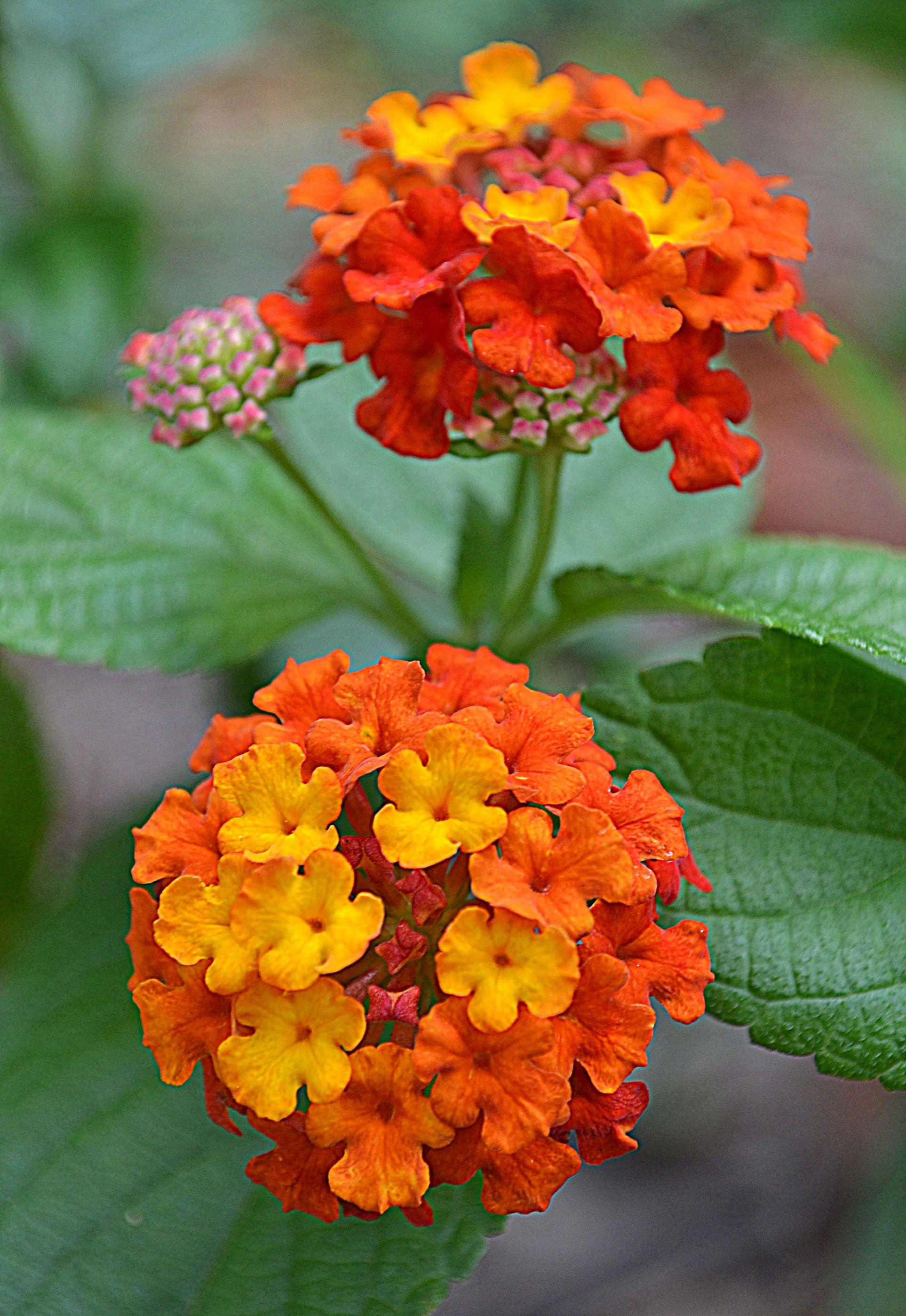 Lantana Dallas Red Hummingbird Garden Lantana Outdoor Flowers