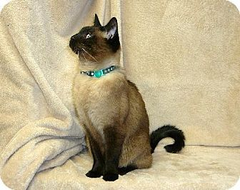 Elko New Market Mn Siamese Meet Chris A Cat For Adoption Cat Adoption Kitten Adoption Pets