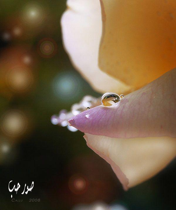 خلفيات تويتر طبيعية حلوة صور قطرات الندى لتويتر اجمل الصور على تويتر 215 Dew Drops