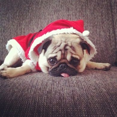 Adorable Christmas Pug Puppy Baby Pugs Pugs Funny Cute Pugs