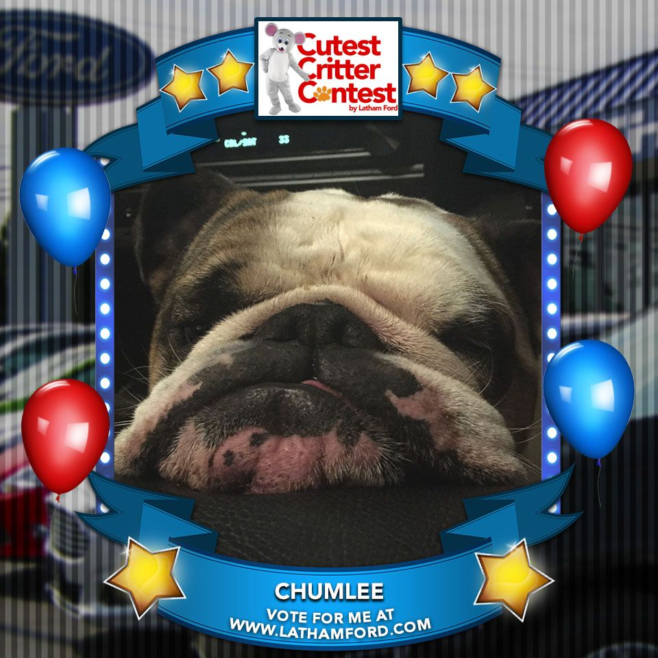 Vote for Chumlee in Latham Ford's Cutest Critter Contest! http://goo.gl/jO8DUw Take this campaign poster and spread the word!