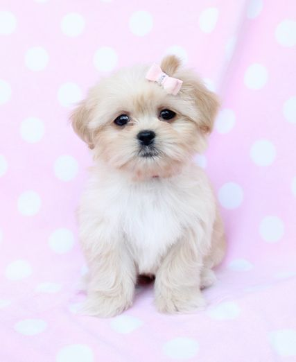 Pictures Of Peekapoo Dogs Puppies
