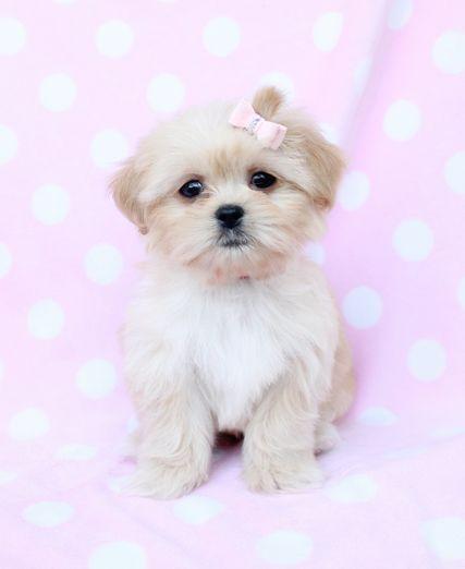 Sale Peekapoo Puppy 018 For Sale Peekapoo Puppies For Sale Dog
