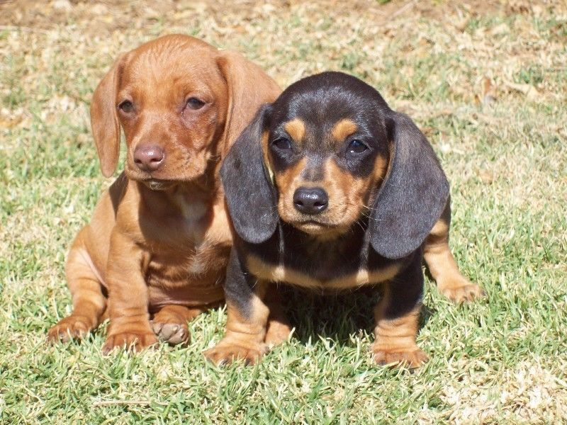 Miniature Dachshund Dapple Worshondjies Worsies Puppies For Sale