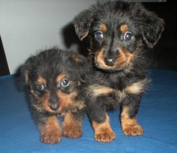 Dorkie Dachshund Yorkie Mix Info Temperament Lifespan Puppies
