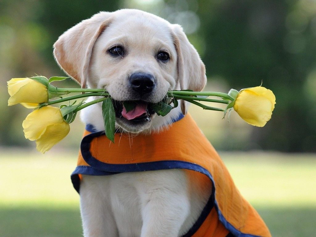 Lovely dog wallpaper labs puppies pinterest dog