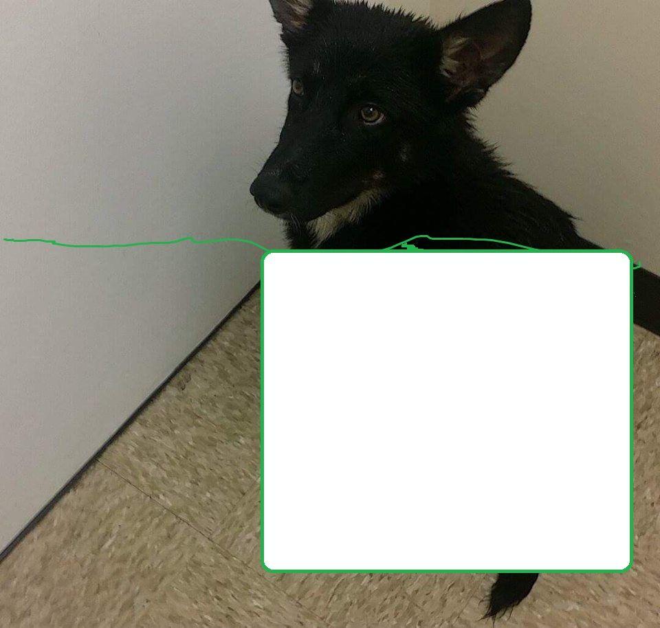Found Dog - German Shepherd Dog - Tampa, FL, United States