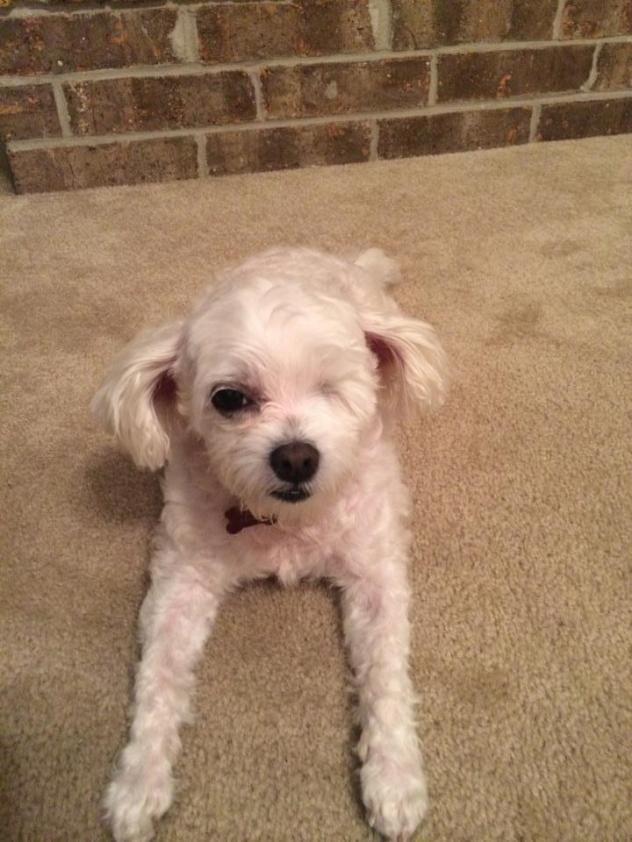 Adopt Gigi Courtesy Post On Poodle Mix Dogs Maltese Poodle