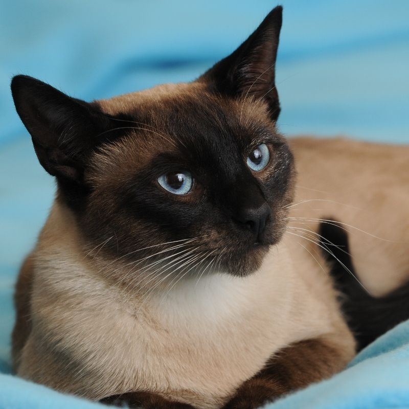 Traditional Siamese In Colorado Siamese Cats Siamese Cats Blue Point Kittens
