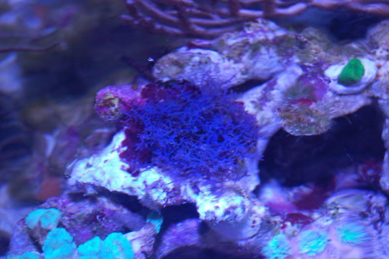 blue ochtodes macro algae | Aquariums | Aquarium, Blue