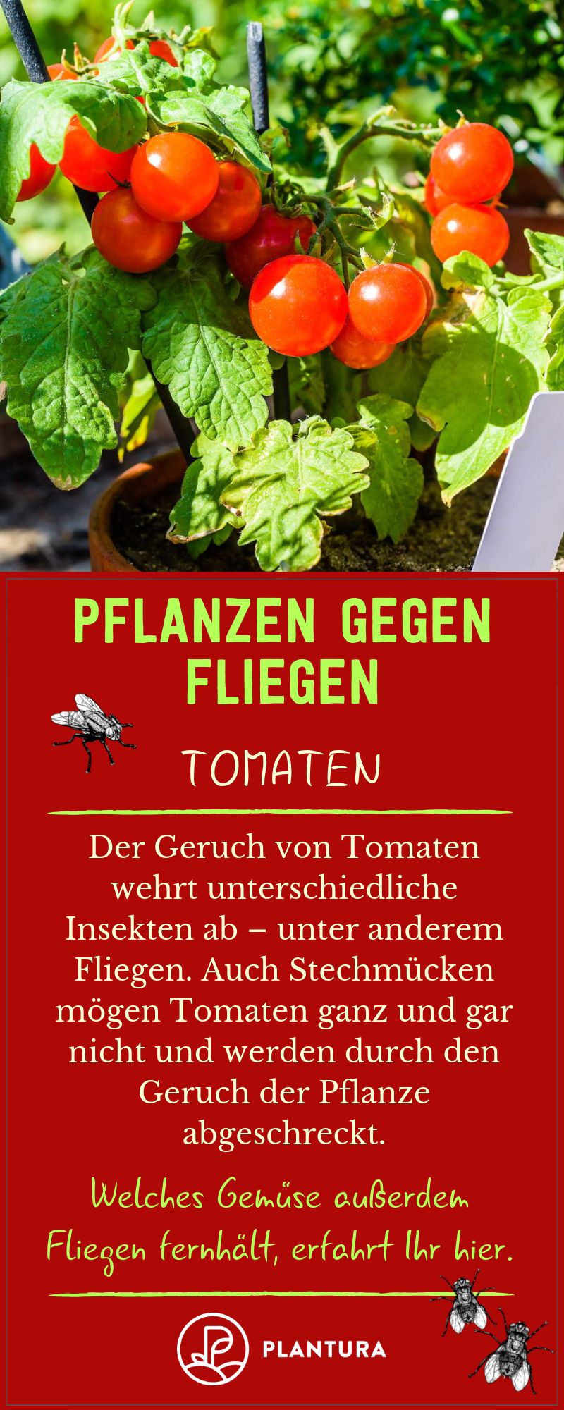 Pflanzen Gegen Fliegen Tomaten Nicht Nur Fliegen Sondern Auch Stechmucken Werden Von Dem Geruch Der Tomate Abgesc Pflanzen Pflanzen Gegen Mucken Stechmucken