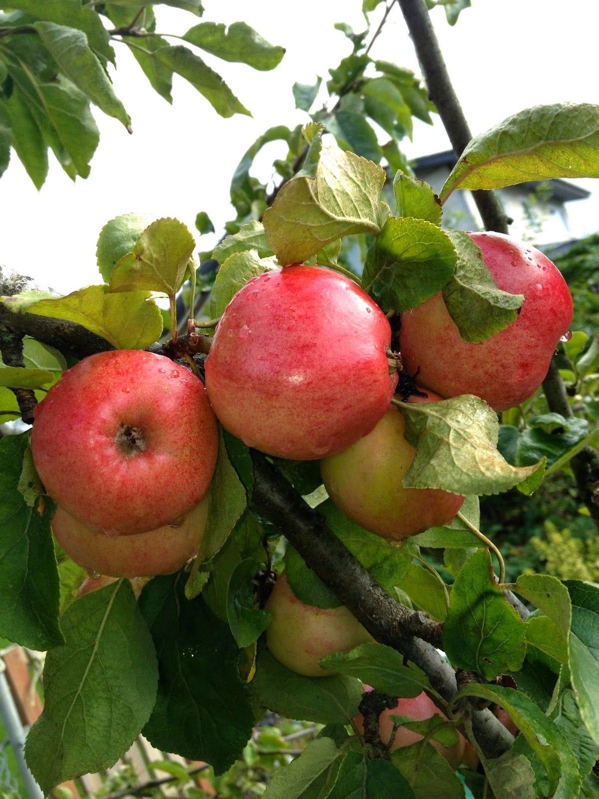 Apple Trees Apple Tree Fruit Garden Apple