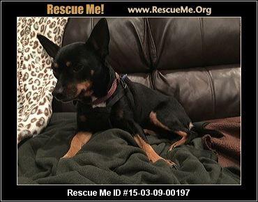 Texas Miniature Pinscher Rescue Adoptions Rescueme Org