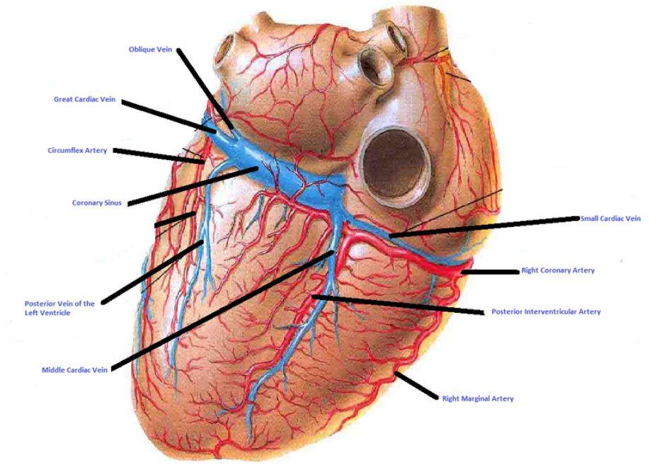 5 Major Coronary Arteries | Posterior | Coronary Arteries ...