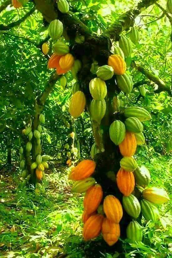 Cacao All of the chocolate products you eat are derived from cacao ...