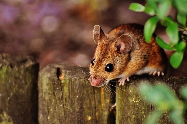 The Clutter In Your Basement Closets Or Attic Can Make An Inviting Home For Mice Don T Let Mice Invade Yo Electronic Pest Control How To Deter Mice Pet Mice