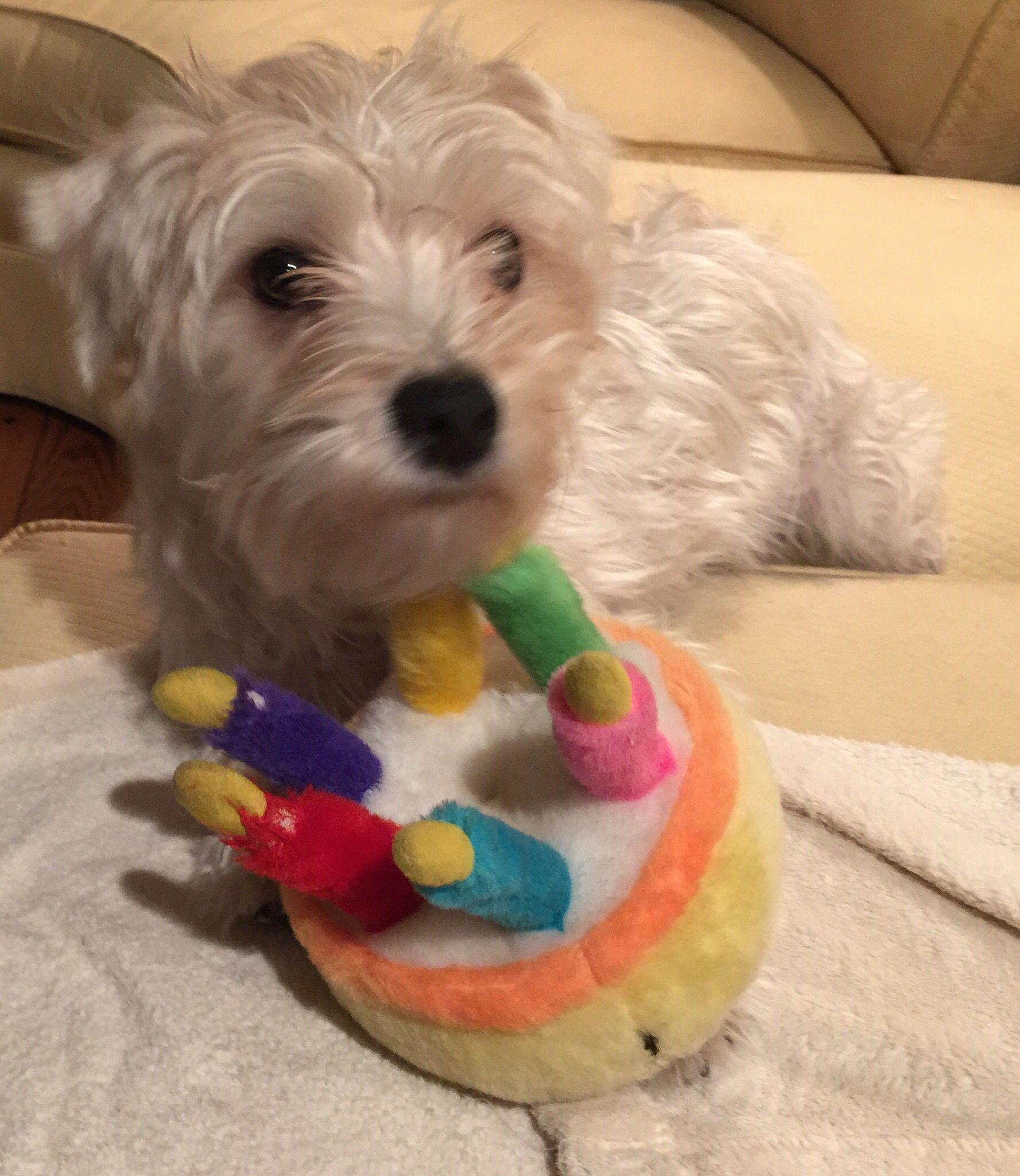 My Cape Cod Morkie Teddy At His First Birthday Party We Had