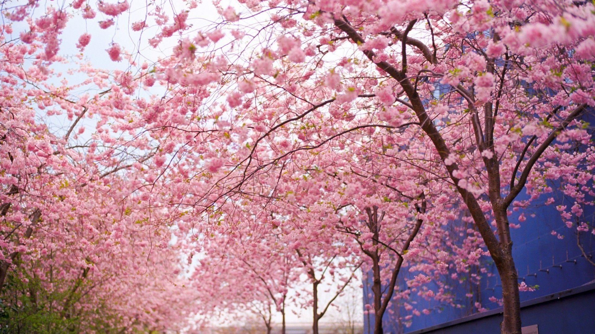 3d Cherry Blossom Wallpaper 3d Wallpaper Pink Tree Google S 248 K Wallpaper