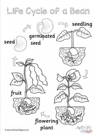 Plant Life Cycle Worksheet Life Cycle Of A Bean in 2020