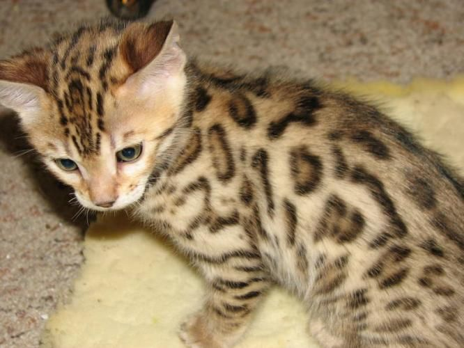 Kittens For Sale Bengal Kitten Cats For Sale For Sale In